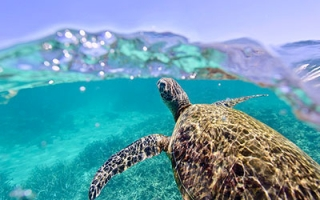Turtle swimming in Ningaloo (AUS) © N. McLachlan